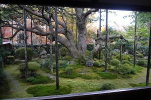 宝泉院 樹齢700年の五葉の松